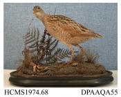 Taxidermy, bird mounted uncased, originally in a domed case, corncrake, Crex crex, flew into telegraph wire in or near Shrewsbury, Shropshire, 1910