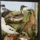 Taxidermy, birds mounted in a display case, goosander, Mergus merganser, pintail, Anas acuta Linnaeus, 1758, belted kingfisher, Ceryle alcyon, american wigeon, Anas americana, american bittern, Botaurus lentiginosus