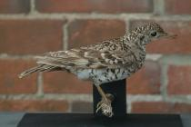 Taxidermy, bird mounted uncased, White's thrush, Zoothera dauma.