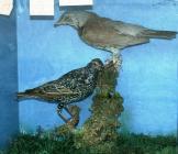 Taxidermy, birds mounted in a display case, starling, Sturnus vulgaris and fieldfare, Turdus pilaris, shot near Heron Court, Hurn, Dorset, 1828