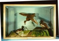 Taxidermy, bird mounted in a display case, Tufted Duck, Aythya fuligula, one adult female in flight, one adult male standing on rock, another adult male standing on sand, found Great Yarmouth, Norfolk, 1888 and 1889 blue background, artifical rock, shel