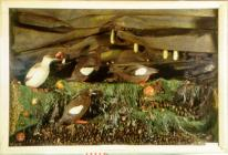 Taxidermy, bird mounted in a display case, Black Guillemot, Cepphus grylle, one adult male and two adult females standing on a rock and one juvenile, found Belmullet, County Mayo, Ireland, 1887, 1891 and 1893 artificial rock, shells, seaweed and sea ane