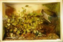 Taxidermy, bird mounted in a display case, nightjar, Caprimulgus europaeus,male and female, one adult in flight, one adult sitting on ground, two chicks sitting on ground, found Denbies Wood, Dorking, Surrey, June and August, 1888 painted woodland scene