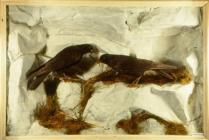 Taxidermy, bird mounted in a display case, Carrion Crow, Corvus corone, two adults standing on rocks, male and female, found south Devon, 1891 background, artifical rock, real plants, branch and white cliffs as groundwork