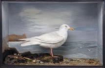 Taxidermy, bird mounted in a display case, Iceland gull, Larus glaucoides, shot by Edward Hart at Mudeford, Christchurch, Dorset, 31 December 1874 and prepared by Edward Hart, Bow House, High Street, Christchurch, Dorset, about 1875 Extract from Edward