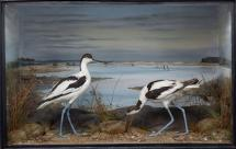 Taxidermy, birds mounted in a display case, 1 adult male and 1 adult female avocet, Recurvirostra avosetta, shot by Edward Hart, Stanpit Channel, Christchurch Harbour, Christchurch, Dorset, 9 November 1885, prepared by Edward Hart, Bow House, High Stree