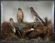 Taxidermy, birds mounted in a display case, 2 male and 2 female, Montagu's harrier, Circus pygargus, shot by Edward Hart, Merritown Common, Merritown, Dorset, 1893, prepared by Edward Hart, Bow House, High Street, Christchurch, Dorset, about 1893