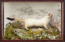 Taxidermy, mammal mounted in a display case, stoat, Mustela erminea, prepared by Tom Allder, 53 Northbrook Street, Newbury, Berkshire