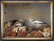 Taxidermy, birds mounted in a display case, snow bunting, Plectophenax nivalis, male and female