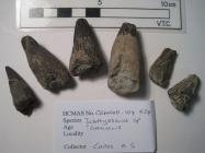 Fossil teeth, 6 specimens of Ichthyosaurus teeth, from unknown location, from Cretaceous period (?)
