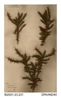 Herbarium sheet, gorse, Ulex sp, found at Parkhurst, Medina, Isle of Wight, 1868