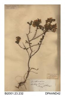 Herbarium sheet, petty whin, Genista anglica, found on Rookley Moors, Rookley, Isle of Wight, 1845