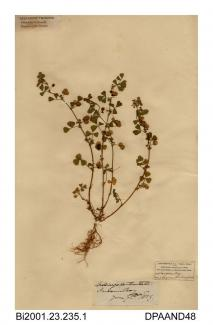 Herbarium sheet, toothed medick, Medicago polymorpha, found at Sandown Bay, Sandown, Isle of Wight, 1839