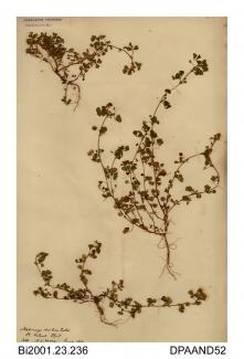 Herbarium sheet, toothed medick, Medicago polymorpha, found on St Helens Spit, St Helens, Isle of Wight, 1839
