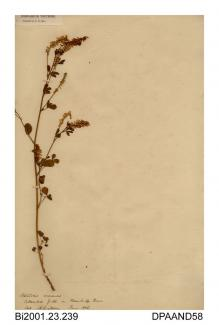 Herbarium sheet, ribbed melilot, Melilotus officinalis, found in a field on Bembridge Down, Bembridge, Isle of Wight, 1856