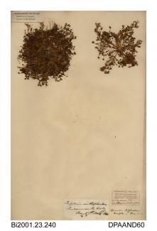 Herbarium sheet, bird's-foot clover, Trifolium ornithopodioides, found near the beach, Sandown, Isle of Wight, 1842