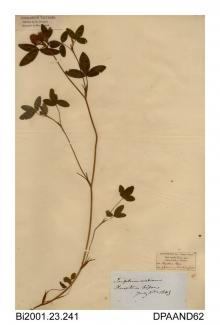 Herbarium sheet, zigzag clover, Trifolium medium, found at Firestone Copse, near Havenstreet, Medina, Isle of Wight, 1849