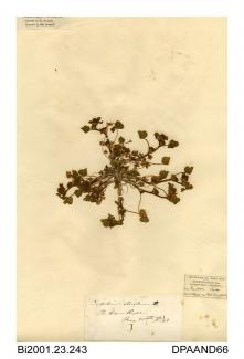 Herbarium sheet, knotted clover, Trifolium striatum, found at Ryde Dover, Ryde, Isle of Wight, 1842