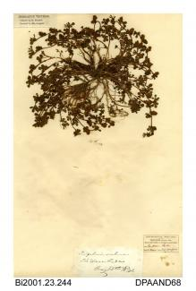 Herbarium sheet, rough clover, Trifolium scabrum, found at Ryde Dover, Ryde, Isle of Wight, 1842