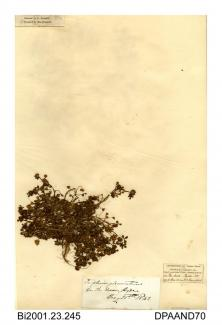 Herbarium sheet, clustered clover, Trifolium glomeratum, found at Ryde Dover, Ryde, Isle of Wight, 1842
