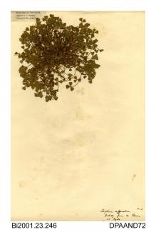 Herbarium sheet, suffocated clover, Trifolium suffocatum, thought to be found at Ryde Dover, Ryde, Isle of Wight