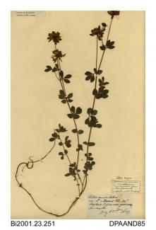 Herbarium sheet, common bird's-foot-trefoil, Lotus corniculatus, found at Stephen's Copse, Yarmouth, Isle of Wight, 1839