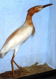 Taxidermy, bird mounted in a display case, cattle egret, Bubulcus ibis, in breeding plumage