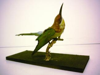 Taxidermy, bird mounted uncased, bee eater, Merops apiaster