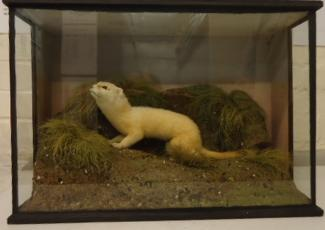 Taxidermy, mammals mounted in a display case, stoat, Mustela erminea, 2 specimens, 1 a white pelage specimen