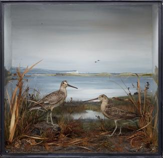 Taxidermy, birds mounted in a display case, 1 male and 1 female short billed dowitcher, Limnodromus griseus, prepared by Edward Hart, Bow House, High Street, Christchurch, Dorset, about 1900 The male bird was shot by I Call or Cull? on sand dunes, Chris