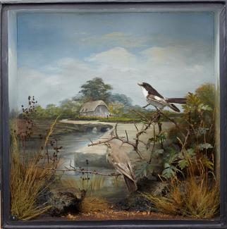 Taxidermy, birds mounted in a display case, 1 male and 1 female pied flycatcher, Ficedula hypoleuca, shot by Edward Hart, Mudeford, Christchurch, Dorset, May or June 1879, prepared by Edward Hart, Bow House, High Street, Christchurch, Dorset, about 1879