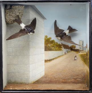 Taxidermy, birds mounted in a display case, 2 house martins, Delichon urbica, shot by Edward Hart, Christchurch, Dorset, prepared by Edward Hart, Bow House, High Street, Christchurch, Dorset, about 1888 The painted background shows Wick and Holdenhurst,