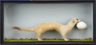 Taxidermy, mammal mounted in a display case, stoat, Mustela erminea, prepared by William Chalkley, The Square, Winchester, Hampshire, about 1890s to early 1900s specimen mounted facing left on a mosssy tree stump, decorated with bracken, dead heads of a