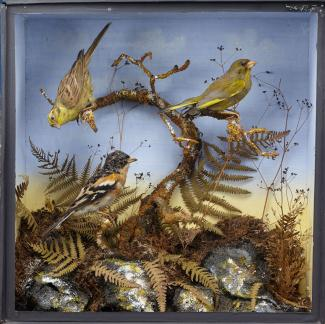 Taxidermy, birds mounted in a display case, greenfinch, Chloris chloris, yellowhammer, Emberiza citrinella, and brambling, Fringilla montifringilla, prepared by William Hart and Son, Christchurch, Dorset, about 1870s the quality of the modelling, and th