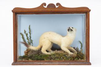 Taxidermy, mammal mounted in a display case, stoat, Mustela erminea, prepared by James Ponchaud, Bargates, Christchurch, Dorset, about 1907-15