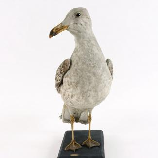 Taxidermy, bird mounted uncased, lesser black backed gull, Larus fuscus, juvenile, found East Worldham, Worldham, Hampshire