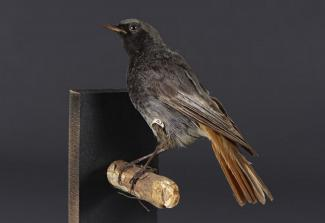 Taxidermy, bird mounted uncased, black redstart, Phoenicurus ochruros, male, in summer plumage, found Alton, Hampshire