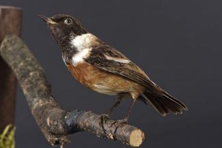 Taxidermy, bird mounted uncased, stonechat, Saxicola torquata, male