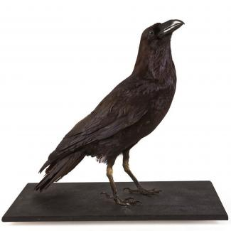 Taxidermy, bird mounted uncased, raven, Corvus corax, found Hackwood, Winslade, Hampshire