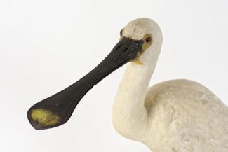 Taxidermy, bird mounted uncased, spoonbill, Platalea leucorodia
