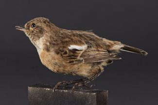 Taxidermy, bird mounted uncased, stonechat, Saxicola torquata, female