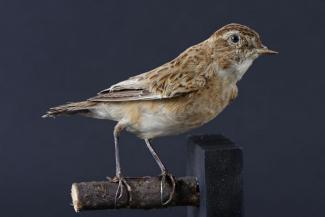 Taxidermy, bird mounted uncased, whinchat, Saxicola rubetra, female