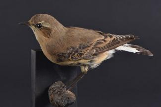 Taxidermy, bird mounted uncased, wheatear, Oenanthe oenanthe, female