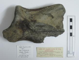 Fossil dinosaur bone, Iguanodon sp, neck of blade bone, collected at Brook, Isle of Wight, in Wealden Formation, Hastings Sands, from Aptian, Gallic, Cretaceous period